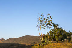 Blooming Century Plant. A blooming century plant in the Santa Monica mountains Stock Image