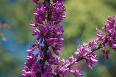 Blooming Cercis against the background of leaves and blue sky. With a bee collecting nectar Stock Photo