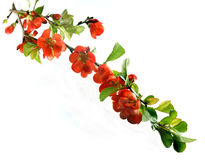 Blooming chaenomeles japonica Stock Images