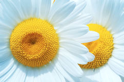 Blooming Chamomile Royalty Free Stock Photography