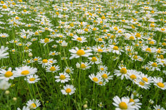 Blooming Chamomile Royalty Free Stock Images