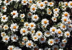 Blooming chamomile field background Stock Images