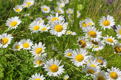 Blooming chamomile field background Royalty Free Stock Photography