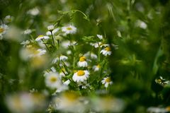 Blooming chamomile field. Chamomile in the wind. royalty free stock photography