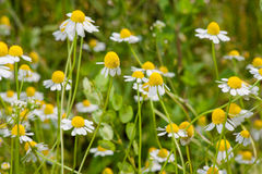Blooming chamomile field Royalty Free Stock Photography