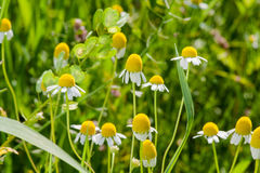 Blooming chamomile field Royalty Free Stock Image