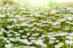 Blooming chamomile field Stock Photography