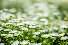 Blooming chamomile field Royalty Free Stock Photos