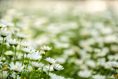 Blooming chamomile field Royalty Free Stock Images