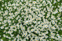 Blooming Chamomile field. Royalty Free Stock Photo