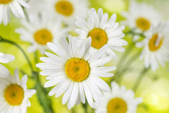Blooming chamomile flowers Stock Photos