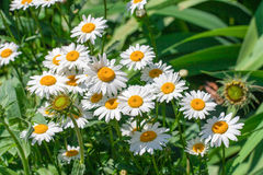 Blooming Chamomile flowers on a meadow in summer. Background Royalty Free Stock Image