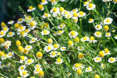 Blooming Chamomile flowers on a meadow in summer. Background Stock Image