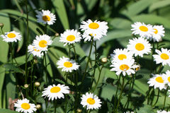 Blooming Chamomile flowers on a meadow in summer. Background Stock Photography