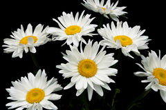Blooming chamomile isolated on black background Royalty Free Stock Photo