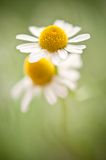 Blooming chamomile Stock Images