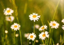 Blooming chamomiles field at sunshine, shallow depth of field Stock Image
