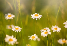 Blooming chamomiles field at sunshine, shallow depth of field Royalty Free Stock Images