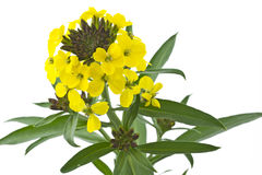 Blooming Cheiranthus cheri flower Royalty Free Stock Photo