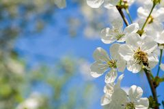 The blooming cherry Royalty Free Stock Photos