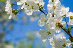 The blooming cherry Stock Images