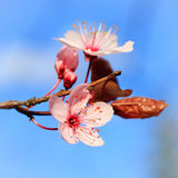 Blooming cherry Stock Photo