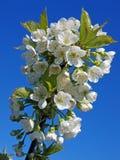 Blooming cherry 2 Stock Photo