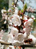 Blooming cherry. Spring floral background Stock Image