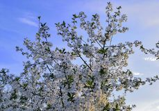 Blooming cherry against the blue sky royalty free stock photos