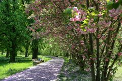 Blooming Cherry Alley in the city park stock photos