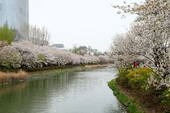 Blooming cherry blossom alley in spring at Lotte World tower royalty free stock photography