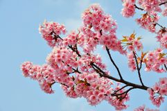 Blooming Cherry Blossom branch in front of blue sky Stock Photography