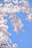Blooming Cherry Blossom branch in front of blue sky Royalty Free Stock Images