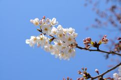 Blooming Cherry Blossom branch in front of blue sky Stock Images