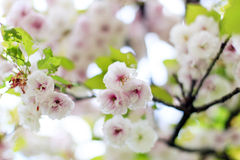 Blooming cherry blossom (sakura) Stock Photo