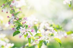 Blooming cherry blossom. Spring flower in garden. Stock Photography