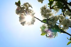 Blooming cherry blossom and sun light in spring royalty free stock photos