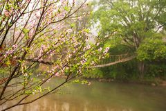 Blooming cherry blossom trees by a stream in springtime. A simple suspension footbridge blurred background, rural scene at Sapa, Vietnam royalty free stock photo