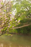 Blooming cherry blossom trees by a stream in springtime. A simple suspension footbridge blurred background, rural scene at Sapa, Vietnam royalty free stock images