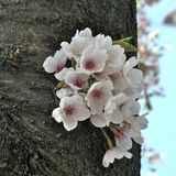 Blooming of Cherry blossoms Stock Images