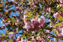 Blooming cherry royalty free stock images