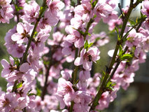Blooming cherry stock photography