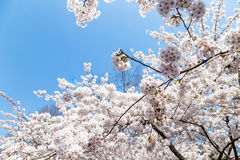 Blooming Cherry blossoms in Zhongshan Park in Spring, Qingdao, China. Every year Zhongshan park hosts the Cherry blossoms festival that attracts thousands of Royalty Free Stock Photography
