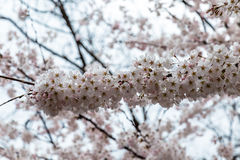 Blooming Cherry blossoms in Zhongshan Park in Spring, Qingdao, China. Every year Zhongshan park hosts the Cherry blossoms festival that attracts thousands of Stock Photos