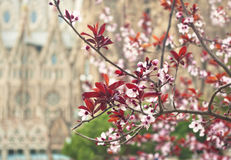 Blooming cherry branch with cathedral at background. Blooming cherry branch with blurred La Sagrada Familia cathedral at background, Barcelona, Spain royalty free stock image