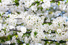 Blooming cherry branch. Stock Photo