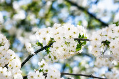Blooming cherry branch close up. Royalty Free Stock Images