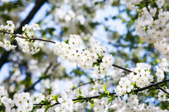 Blooming cherry branch close up. Stock Photos