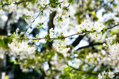 Blooming cherry branch close up. Royalty Free Stock Photo