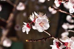 Blooming cherry branch Royalty Free Stock Photo
